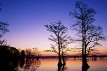 Baldcypress trees silhouetted at sunset Taxodium distichum Reelfoot by Danita Delimont