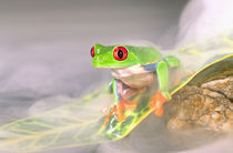 Red Eye Treefrog in the mist, Agalychinis callidryas, Native to Central America von Danita Delimont