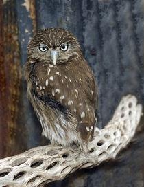 Ferruginious Pygmy Owl von Danita Delimont