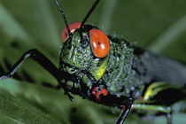 Central America, Panama, Barro Colorado Island. Red-eyed grasshopper by Danita Delimont