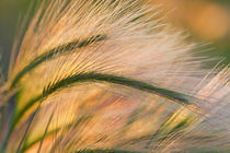 Foxtail barley backilt near East Glacier Montana by Danita Delimont