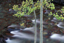 North America, USA, Colorado, San Juan Mountains. River and aspen by Danita Delimont