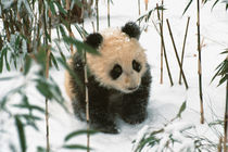 Panda cub on snow, Wolong, Sichuan, China von Danita Delimont