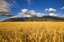 Mature stand of wheat sits below the Swan Mountain Range in the Flathead Valley by Danita Delimont
