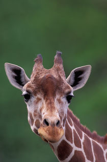 Africa, Kenya, Impala Ranch. Reticulated Giraffe by Danita Delimont