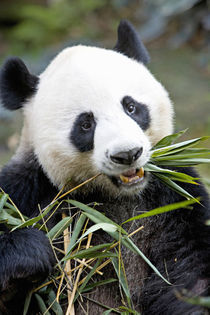 Panda eating bamboo shoots at a Panda reserve Unesco World Heritage site von Danita Delimont