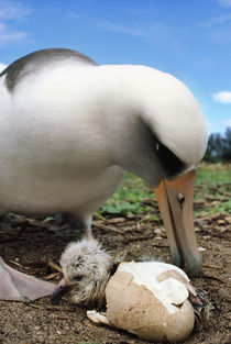 Laysan albatross with newly hatched chick, Phoebastria immutabilis, Tern Island by Danita Delimont