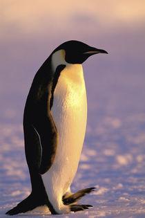 Antarctica, Australian Antarctic Territory, Auster 'EP' Rookery von Danita Delimont