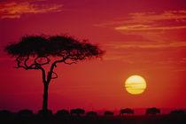 AFRICA, Kenya, Masai Mara Wildebeest Migration by Danita Delimont