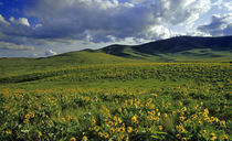 Wildflowers with Bisin grazing at the National Bison Range in Montana von Danita Delimont