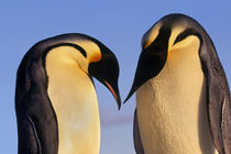 Emperor penguins greeting, Aptenodytes forsteri, Antarctica von Danita Delimont