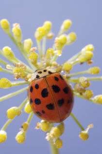USA, California, San Diego, Close-up of a lady beetle on a flower. Credit as by Danita Delimont