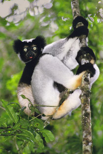 Indri climbing tree, Indri indri, Andasibe, Madagascar by Danita Delimont