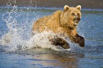 A brown bear chases a salmon at Silver Salmon Creek, Lake Clark NP, Alaska. von Danita Delimont