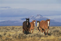 DFH-52   Four horses near Cody, Wyoming, Heart Mountain in distance.  Original von Danita Delimont