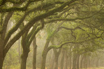 USA; Georgia; Savannah; An oak lined drive in the fog. von Danita Delimont
