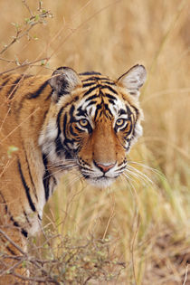 Royal Bengal Tiger watching from the grassland, Ranthambhor National Park, India von Danita Delimont