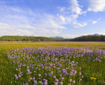 Meadow of penstemon wildflowers in the Sawtooth National Forest near Idaho by Danita Delimont