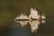 Rio Grande Leopard Frog, Rana berlandieri by Danita Delimont