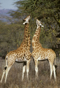 Reticulated giraffes foraging from acacia, Kenya by Danita Delimont