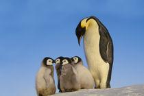 Emperor penguin with chicks, Aptenodytes forsteri, Antarctica von Danita Delimont