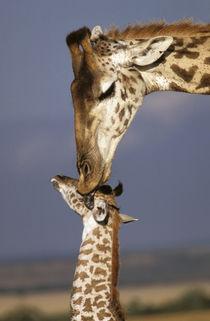 Africa, Kenya, Masai Mara. Giraffes (Giraffe camelopadalis) von Danita Delimont