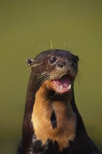 Giant otter calling, Pteronura brasiliensis, Pantanal, Brazil by Danita Delimont