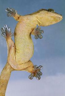 Tokay gecko climbing on glass, Gekko gecko, Panama von Danita Delimont