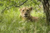 South African Lioness, Panthera leo, Hluhulwe Game Reserve, South Africa von Danita Delimont