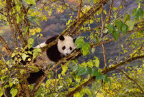 Panda on tree with autumn foliage, Wolong, Sichuan, China von Danita Delimont