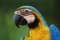 Blue-and-yellow macaw, Ara ararauna, Tambopata Reserve, Peru by Danita Delimont