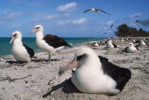 Laysan albatrosses on beach, Phoebastria immutabilis, Hawaiian Leeward Islands by Danita Delimont