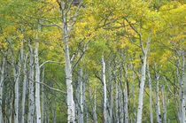 Autumn aspens in McClure pass in Colorado. von Danita Delimont
