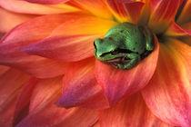 Pacific Chorus frog on dahlia. Credit as von Danita Delimont