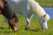 Icelandic Horses in western Iceland. von Danita Delimont