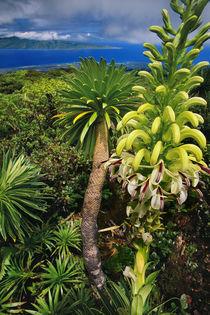 Giant lobelia, Lobelia gloria montis, Lobelia Watershed Preserve, Maui, Hawaii by Danita Delimont