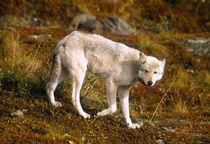 USA, Alaska, Denali NP, Grey Wolf (Canis lupus) von Danita Delimont