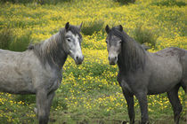 In Western Ireland, two horses with long flowing manes by Danita Delimont