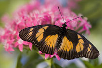 Sammamish, Washington Tropical Butterfly Photograph of African Species von Danita Delimont