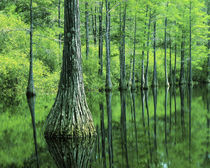 USA, Florida, Apalachicola National Forest, Bald Cypress by Danita Delimont
