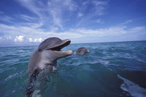 Caribbean Bottlenose dolphins (Tursiops truncatus)  Used in National GeoKids von Danita Delimont
