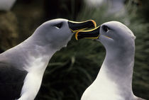 Grey-headed Albatrosses by Wolfgang Kaehler
