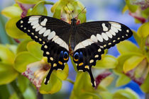 Sammamish, Washington Tropical Butterfly by Danita Delimont