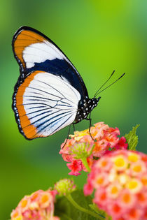 Sammamish Washington Tropical Butterflies photograph of Hypolimnas usambara by Danita Delimont