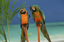 North America, USA, Hawaii. Parrots von Danita Delimont