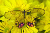 Sammamish Washington Photograph of Butterfly on Flowers, Glass Wing Butterfly von Danita Delimont