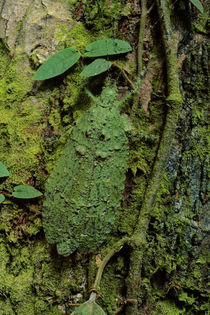 Lichen-mimic katydid camouflaged on tree bark,  Olcinia sp., Sabah, Borneo von Danita Delimont