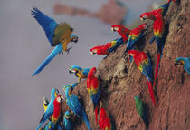 Macaws at clay lick, Tambopata National Reserve, Peru by Danita Delimont