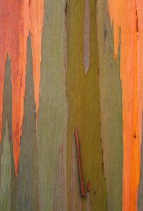 USA, Hawaii, Kauai. Detail of eucalyptus tree bark. Credit as von Danita Delimont