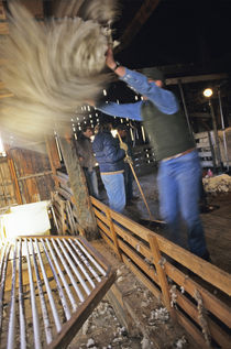 Sorting wool at sheep shearing near Cascade Montana von Danita Delimont